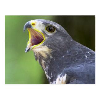 Retrato del halcón del chacal (Buteo Rufofuscus) Postales