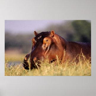 Retrato del Hippopotamus de la belleza Poster