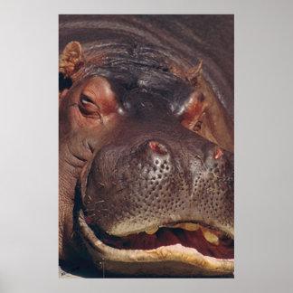 Retrato del Hippopotamus el dormitar Poster