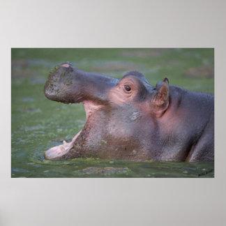 Retrato del Hippopotamus VII Impresiones