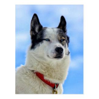 Retrato del husky siberiano postal