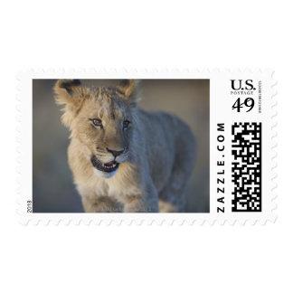 Retrato del león Cub (Panthera Leo), Namibia Estampillas