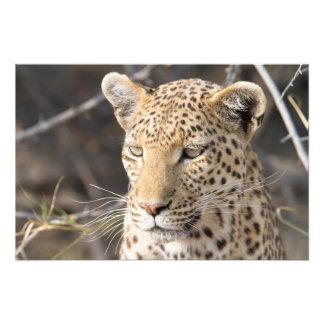 Retrato del leopardo cojinete
