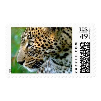 Retrato del leopardo (Panthera Pardus) Envio