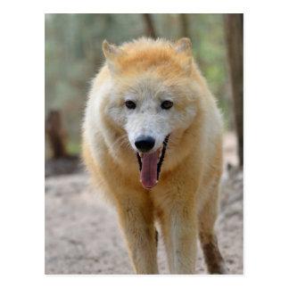 Retrato del lobo ártico postales