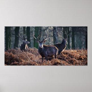 Retrato del macho del ciervo común en otoño invier poster