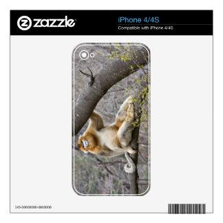 Retrato del mono de oro masculino en árbol calcomanías para iPhone 4