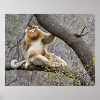 Retrato del mono de oro masculino en árbol posters