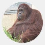 Retrato del orangután pegatinas redondas