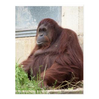 Retrato del orangután postales