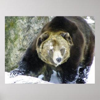 Retrato del oso grizzly en nieve póster
