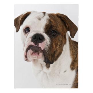 Retrato del perrito lindo del dogo postales