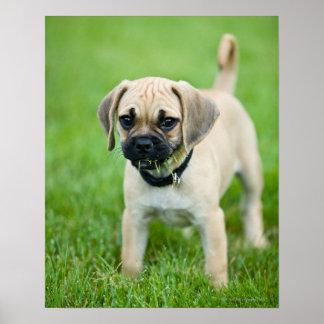Retrato del perrito que se coloca en hierba poster