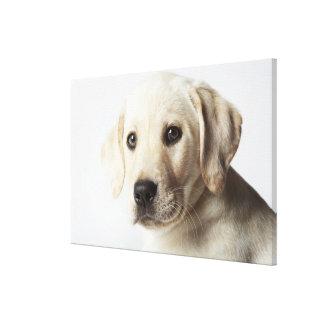 Retrato del perrito rubio del labrador retriever impresiones en lona estiradas