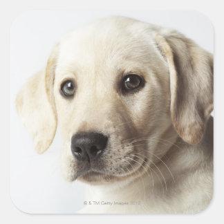 Retrato del perrito rubio del labrador retriever calcomanías cuadradas personalizadas