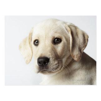 Retrato del perrito rubio del labrador retriever postal