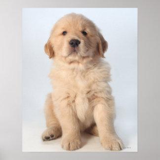 Retrato del perrito viejo de seis semanas del gold poster