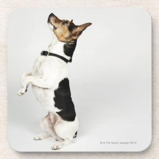 Retrato del perro de Jack Russell que se sienta Posavasos De Bebidas