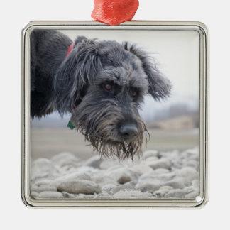 Retrato del perro de la raza de la mezcla incliná ornatos