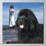 Retrato del perro de Terranova Poster