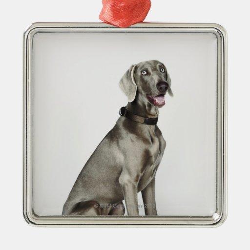 Retrato del perro de Weimaraner Adorno Navideño Cuadrado De Metal
