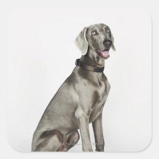 Retrato del perro de Weimaraner Pegatina Cuadrada