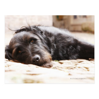 retrato del perro negro que miente en yarda postales