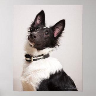 Retrato del perro pastor de Shetland blanco y negr Impresiones