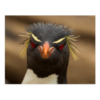 Retrato del pingüino de Rockhopper Postales