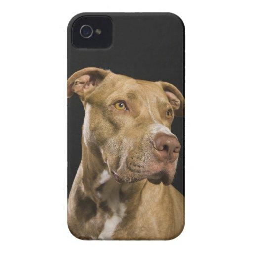 Retrato del pitbull rojo de la nariz con negro iPhone 4 protectores