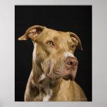 Retrato del pitbull rojo de la nariz con negro póster