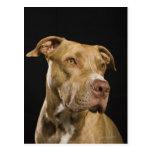 Retrato del pitbull rojo de la nariz con negro tarjeta postal
