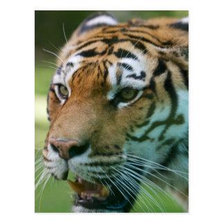 Retrato del tigre de Amur (altaica del Tigris del Postal