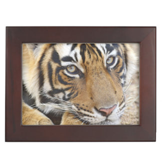 Retrato del tigre de Bengala real, Ranthambhor 4 Caja De Recuerdos