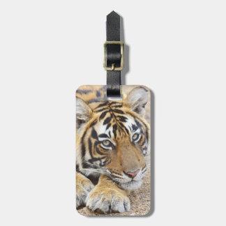 Retrato del tigre de Bengala real, Ranthambhor 4 Etiquetas Para Equipaje
