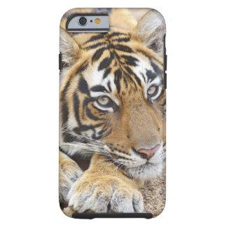 Retrato del tigre de Bengala real, Ranthambhor 4 Funda Para iPhone 6 Tough