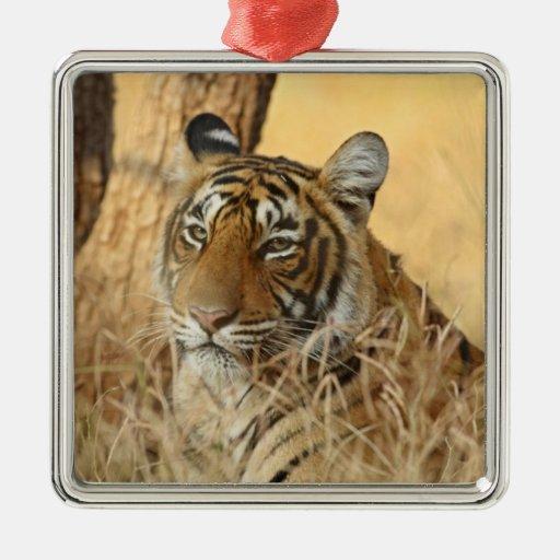 Retrato del tigre de Bengala real, Ranthambhor 5 Adorno