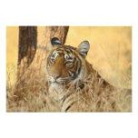 Retrato del tigre de Bengala real, Ranthambhor 5 Impresiones Fotograficas