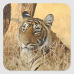 Retrato del tigre de Bengala real, Ranthambhor 5 Pegatinas Cuadradases