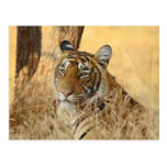 Retrato del tigre de Bengala real, Ranthambhor 5 Postal
