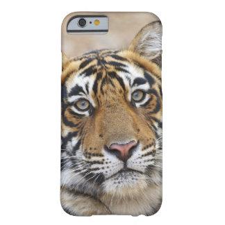 Retrato del tigre de Bengala real, Ranthambhor Funda De iPhone 6 Barely There