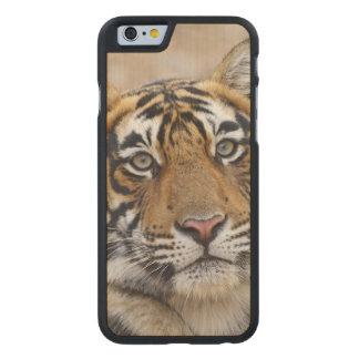 Retrato del tigre de Bengala real, Ranthambhor Funda De iPhone 6 Carved® Slim De Arce