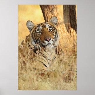 Retrato del tigre de Bengala real Ranthambhor Posters