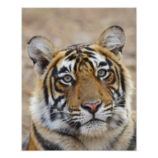 Retrato del tigre de Bengala real, Ranthambhor Impresiones