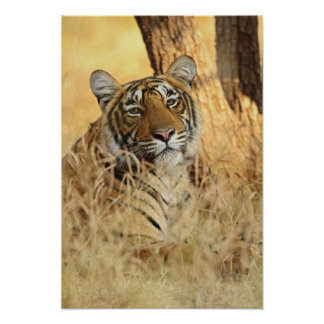 Retrato del tigre de Bengala real, Ranthambhor Póster