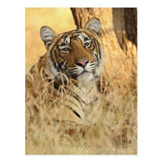 Retrato del tigre de Bengala real Ranthambhor Postal