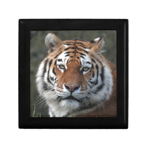 Retrato del tigre siberiano cajas de regalo