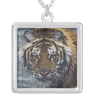 Retrato del tigre siberiano mojado colgante cuadrado