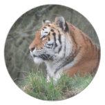 Retrato del tigre siberiano plato para fiesta