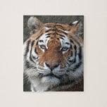Retrato del tigre siberiano rompecabeza con fotos